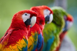 Portrait group of Ara parrots ,Scarlet Macaw and Great green macaw, portrait of four red and green, colorful amazonian parrots in a row, focused on first. Wild animals, Costa Rica, Central America.