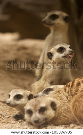 Portrait group of meerkat sit on sand floor.