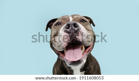 Portrait happy smiling american bully dog. Isolated on blue background.
