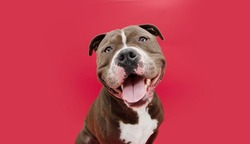 Portrait happy smiling american bully dog. Isolated on red background.