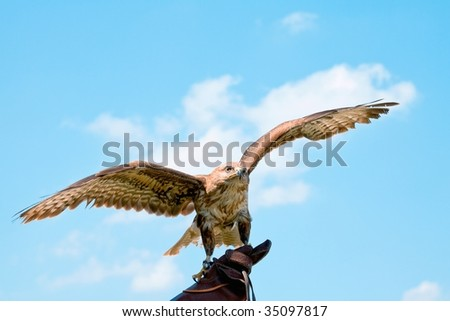 Portrait hawk on falconer gloves