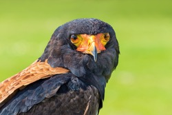 Portrait head of Bateleur eagle bird of prey isolated on green background
