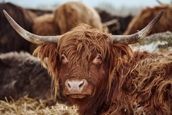 Portrait highland cow with horns