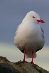 Portrait image of sitting beautiful red-billed gull with bright red beak in front of dusk sky