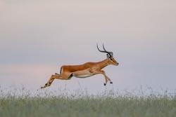 Portrait Impala running