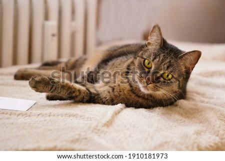 portrait iof a beautiful tabby cat. Felis silvestris catus.  Stock photo ©