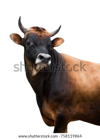 portrait Jersey bull on a white background