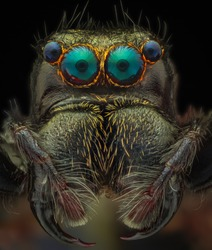 portrait jumping spider in Cuc Phuong national park Vietnam