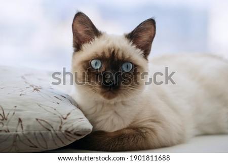 Portrait kitty with blue eyes on windowsill. Shallow DOF Stock photo ©