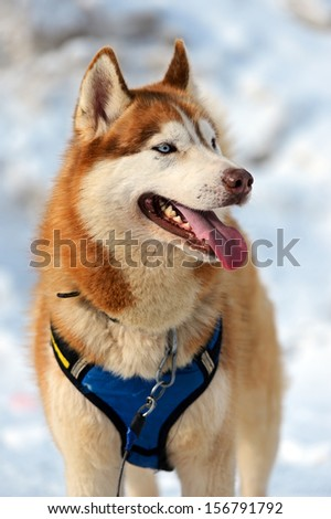 Portrait Laiki Husky dog sled in winter #156791792