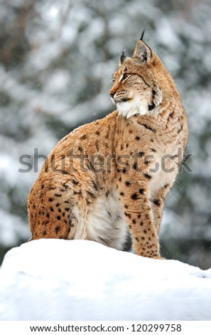 portrait lynx in the forest in winter
