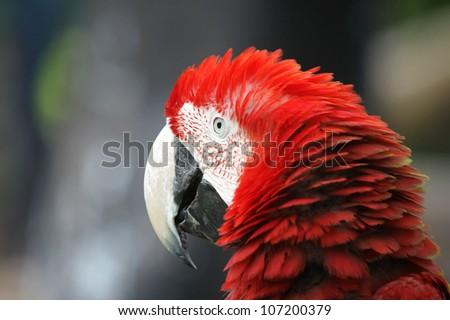 Portrait Macaw