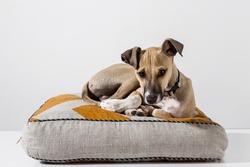 Portrait of a adorable italian greyhound puppy