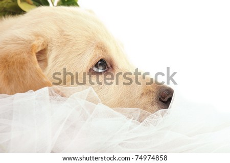Portrait of a adorable labrador puppy, laying on drapery at home. Copyspace for your text and logo. Insurance concept