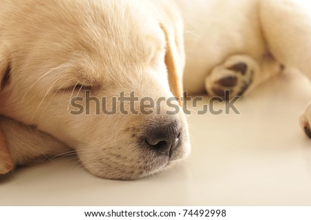 Portrait of a adorable labrador puppy, laying on sofa at home. Copyspace for your text and logo. Insurance concept