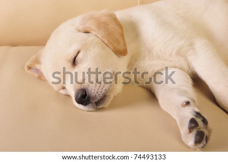 Portrait of a adorable labrador puppy, laying on sofa at home. Copyspace for your text and logo