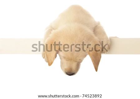 Portrait of a adorable labrador puppy, laying on white table.
