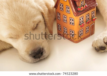 Portrait of a adorable labrador puppy, laying on white table with house. Safe home concept