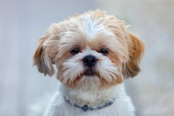 Portrait of a adorable Shih-Tzu dog looking at camera