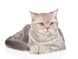 Portrait of a adult british cat. Isolated on white background