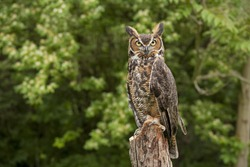 Portrait of a adult Great Horned Owl Bubo viriginianus perch on a old dead tree stump
