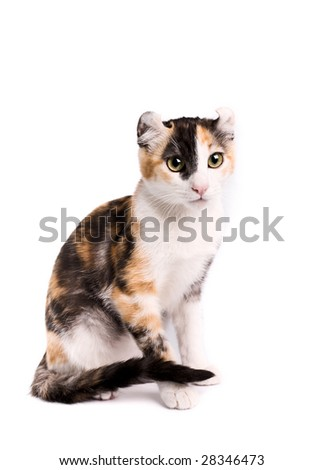 of a american curl cat on