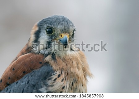 Portrait of a American kestrel (Falco sparverius) Stock fotó ©