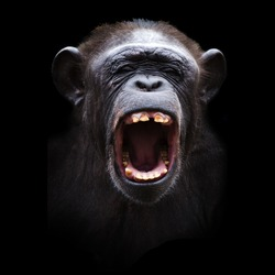 Portrait of a angry chimpanzee on a black background