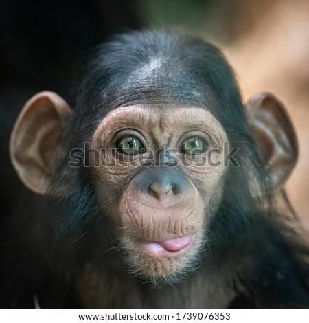 Portrait of a baby chimpanzee in Pilsen in Czech Republic . Сток-фото ©
