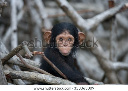 Portrait of a baby chimpanzee. Republic of the Congo. Reserve Conkouati-Douli. An excellent illustration.