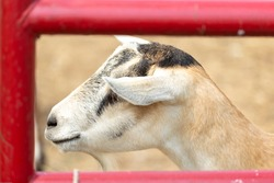 portrait of a baby goats face behind bars of a local farm with hay in the background.  the adorable domesticated animal appears healthy and happy