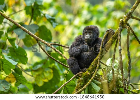 Portrait of a baby mountain gorilla (Gorilla beringei beringei), Bwindi Impenetrable Forest National Park, Uganda.  Сток-фото ©