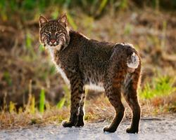 Portrait of a backlit Florida bobcat