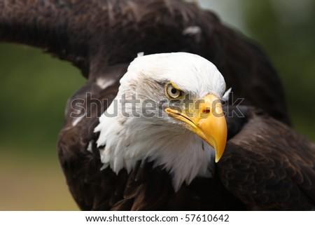Portrait of a Bald Eagle
