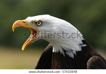 Portrait of a Bald Eagle calling