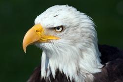 Portrait of a bald eagle [Haliaeetus leucocephalus]