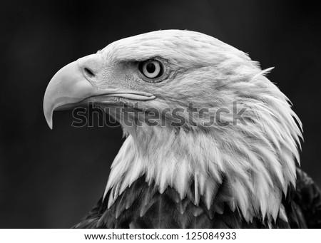 Portrait of a Bald Eagle (Haliaeetus leucocephalus) portrait profile
