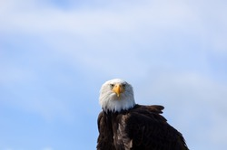 Portrait of a bald eagle (Haliaeetus leucocephalus) with blue and white sky in the background It is the heraldic bird of the USA and lives in North America