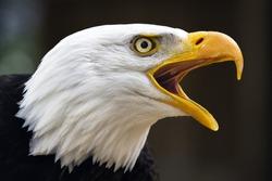 Portrait of a bald eagle (lat. haliaeetus leucocephalus)