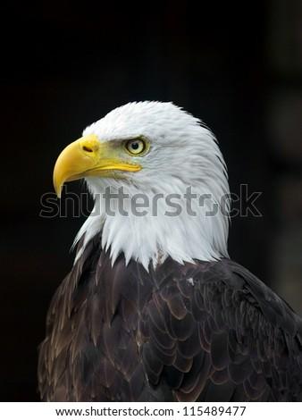 Stock Photo Portrait of a bald eagle (lat. haliaeetus leucocephalus)