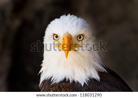 Portrait of a bald eagle (lat. haliaeetus leucocephalus) staring directly at YOU, focus on eye