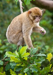 Portrait of a Barbary Macaque monkey sat in a tree
