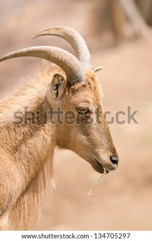 Portrait of a Barbary sheep, the only wild sheep from Africa