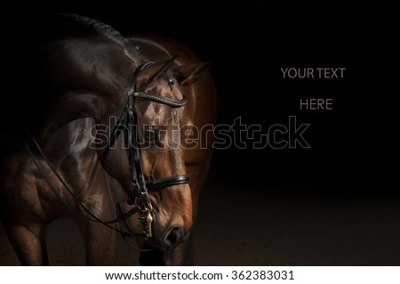 Portrait of a bay sport dressage horse #362383031