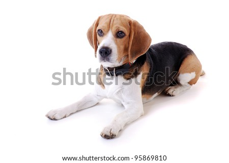 portrait of a beagle