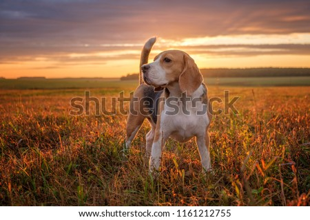 portrait of a Beagle dog on the background of a beautiful sunset sky in the summer after the rain while walking in nature