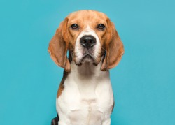 Portrait of a beagle looking at the camera on a blue background in a horizontal image