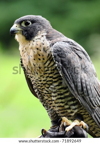 Portrait of a beatiful Peregrinne Falcon