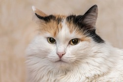 Portrait of a beautiful adult serious fluffy long-haired tri-colored cat with yellow eyes and pink nose on a blurred background