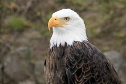Portrait of a beautiful bald eagle, haliaeetus leucocephalus